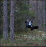 Capercaillie jumping on lekking place - Uppland