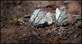 Hawthorn Butterflies (Hagtornsfjärilar) on a beach near Kråkenäs