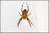 A Garden Spider (Korsspindel) hunting outside my sleeping room - Öland