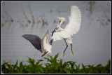Snowy Egret and Tricolored Heron 2