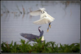 Snowy Egret and Tricolored Heron 3