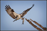 Ospery With Fish