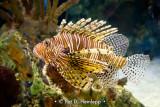 Lionfish profile