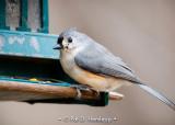 Titmouse on feeder
