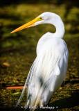 Posing egret