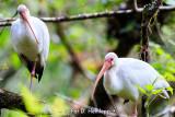 Pair of ibises