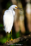 Egret on limb