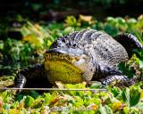 Gator in sun