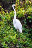 Egret on green