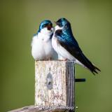 Debating swallows