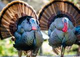 Pair of turkeys