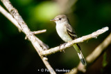 Perched flycatcher