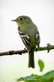 Isolated flycatcher