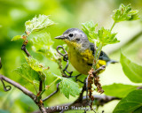 Warbler and leaves