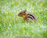 Chipmunk in grass