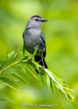 Catbird posing