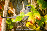 Catbird and leaves