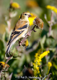 Goldfinch on stem