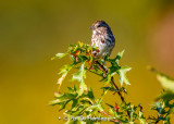 Quiet Song Sparrow