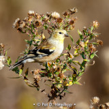Fall goldfinch