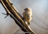 Perched finch