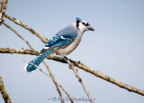 Blue Jay on blue