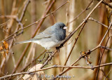 Junco in field