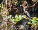 Anhinga and turtles