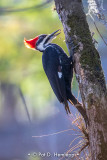 Working woodpecker