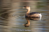Grebe reflection