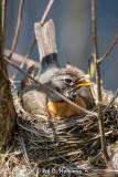 Bluebirds, Robins, Thrushes