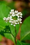 OSF-White milkweed 3530