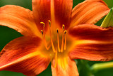 lily-4550