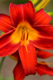 lily-4553