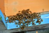 Bee-watch-7491