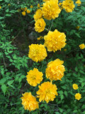 04 Double flowered Kerria japonica 7104