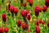 Crimson clover 2682