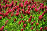 Crimson clover 2676