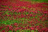 Crimson clover 2689