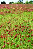 Crimson clover 2673