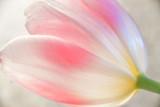 20 Tulip 2742