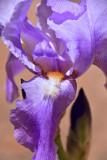 30 Variegated iris 2828