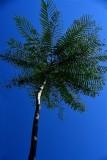 CUBA_2599 Cienfuegos Botanical Garden Tree fern