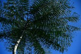 CUBA_2601 Cienfuegos Botanical Garden Tree fern