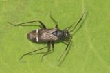 Heteroptera ( Skinnbaggar )