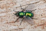 Diptera ( Tvåvingar )
