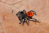 Spiders ( Spindlar )