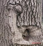 melc-scoarta-copac-parc-kiseleff-bucuresti.jpg