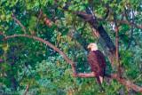 Core Creek Eagle