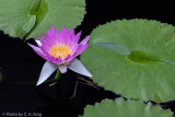 Day Blooming Water Lily
